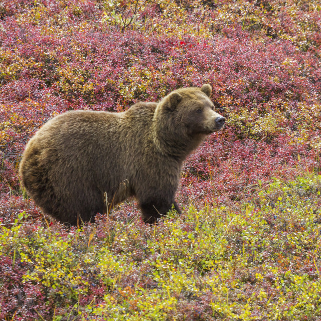 """""""Close Up Of A Grizzly Bear (Ursus Arctos Horribilis) Standing In Colorful Red..."""" stock image"""