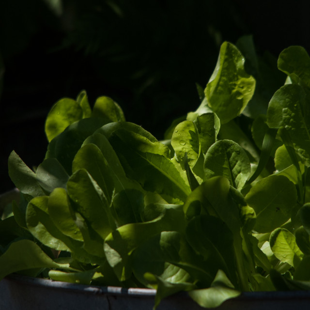 """Broadleaf Lettuce"" stock image"
