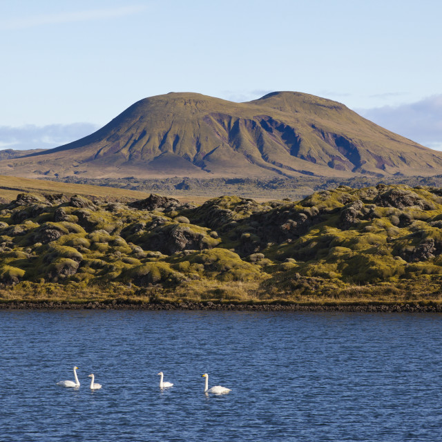 """""""Swans Swimming In A Lake With Majestic Icelandic Topography In The..."""" stock image"""