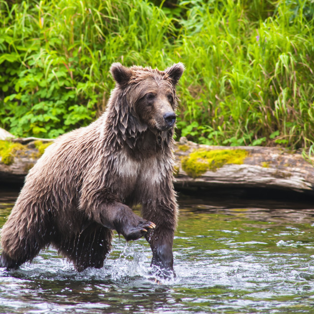 """""""A Brown Bear On The Russian River Is Looking For Salmon To Feed On On A..."""" stock image"""