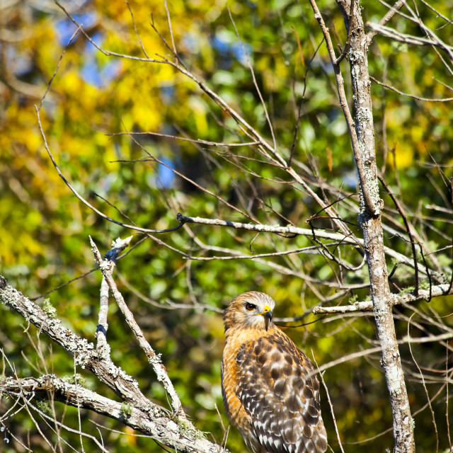 """Red-Shouldered Hawk (Buteo Lineatus) In Fall Foliage, Blue Spring State Park;..."" stock image"