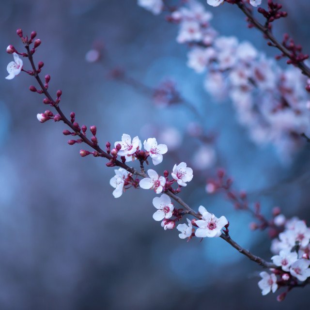 """Blackthorn Blossom"" stock image"