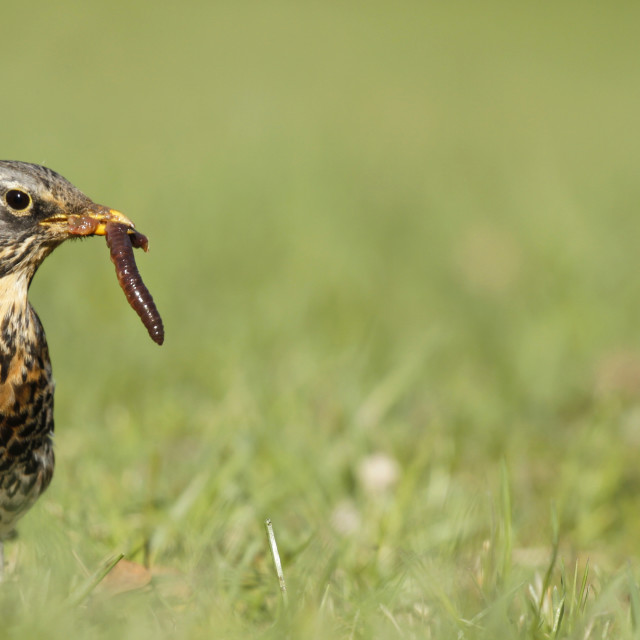 """Fieldfare catching a worm"" stock image"