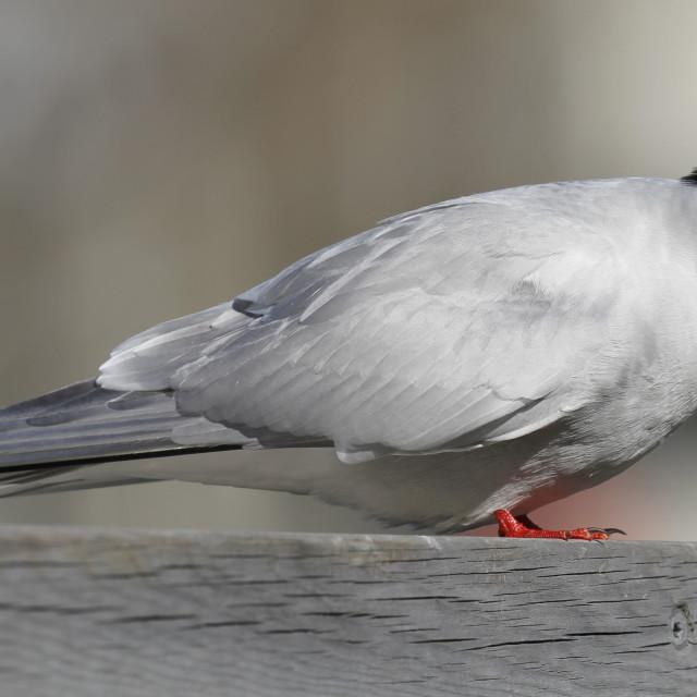 """Arctic tern, Sterna paradisaea"" stock image"