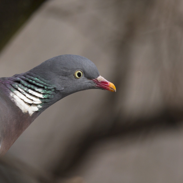 """Common wood pigeon, Columba palumbus."" stock image"