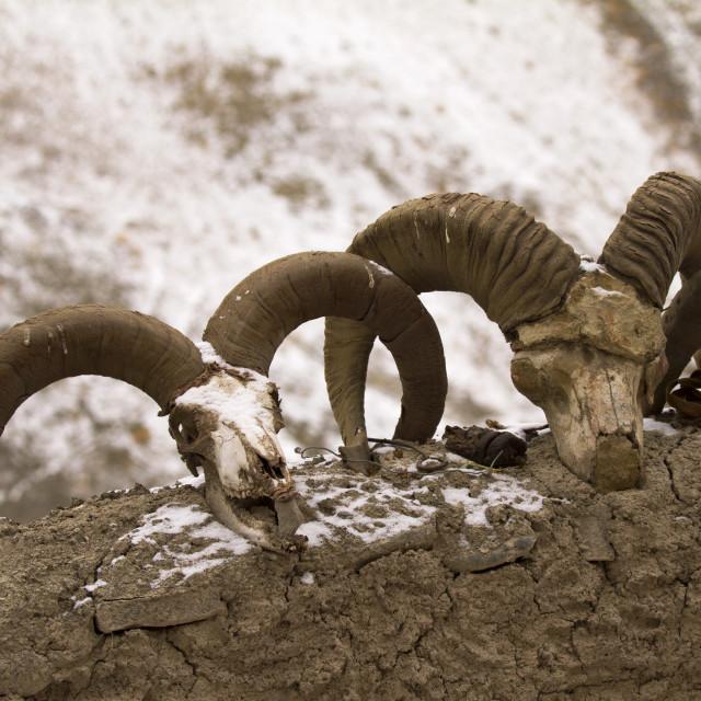 """""""Bharal skulls, Ladakh, India"""" stock image"""