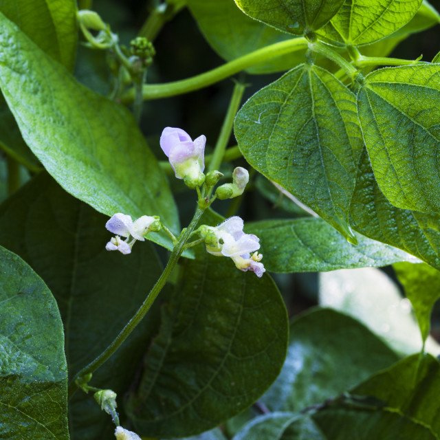 """""""Provider Bush Beans Delicate Lavender-White Flower Covered With Early Morning..."""" stock image"""