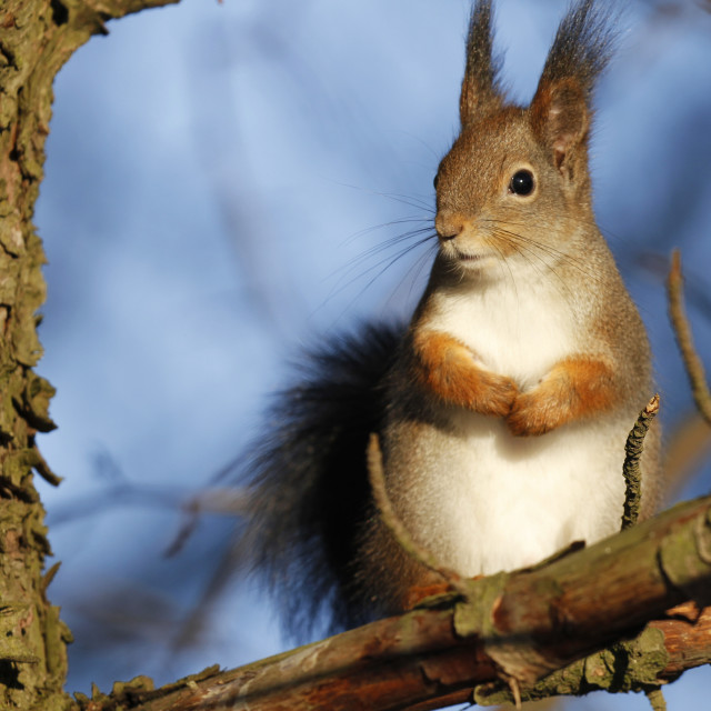 """Red Squirrel Sciurus vulgaris"" stock image"