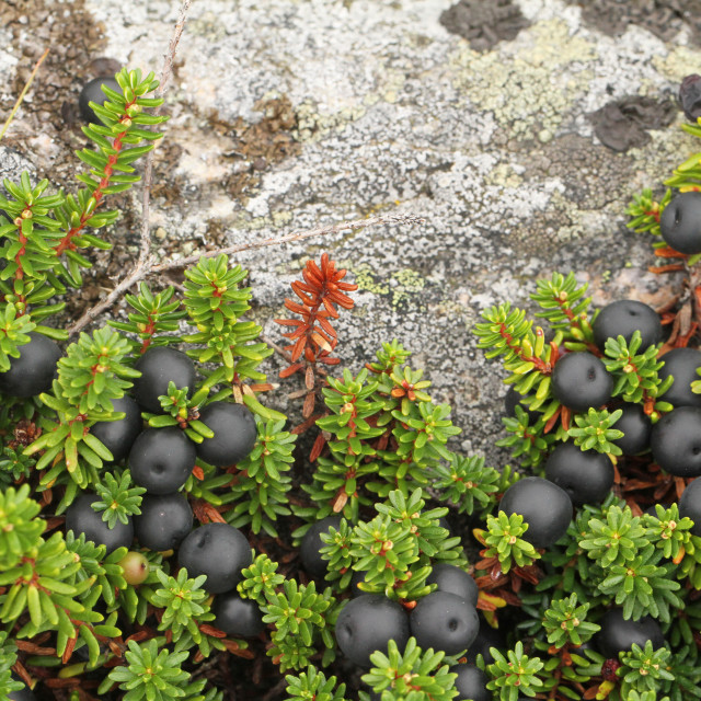 """Crowberry, Empetrum nigrum"" stock image"