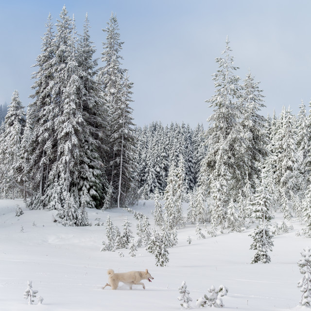 """Dog Exploring Through Snow"" stock image"