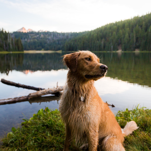 """Golden Retriever Sits on Lakeshore at Sunrise"" stock image"