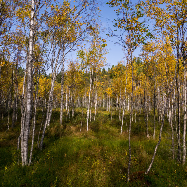 """Autumn birch forest"" stock image"