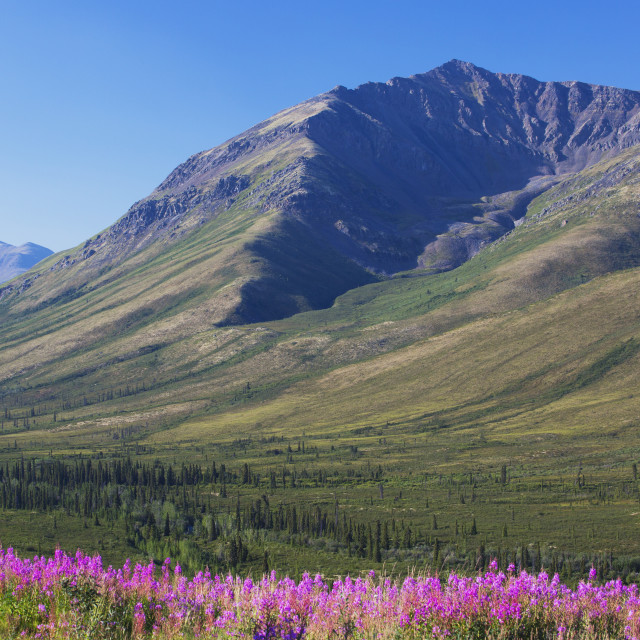 """""""Mountain Vista With Fireweed In The Foreground; Yukon, Canada"""" stock image"""