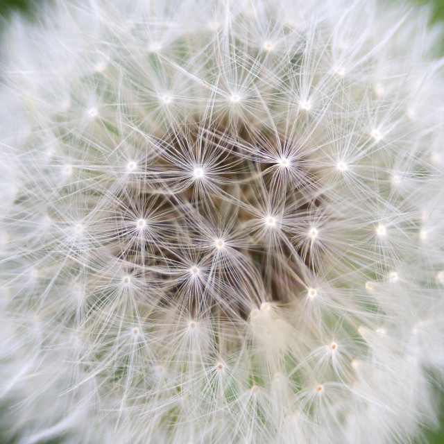 """Dandelion close encounter"" stock image"