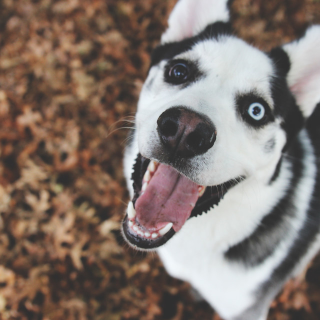 """Husky in the Fall"" stock image"
