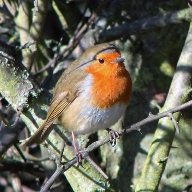 """""""Robin in Tree"""" stock image"""