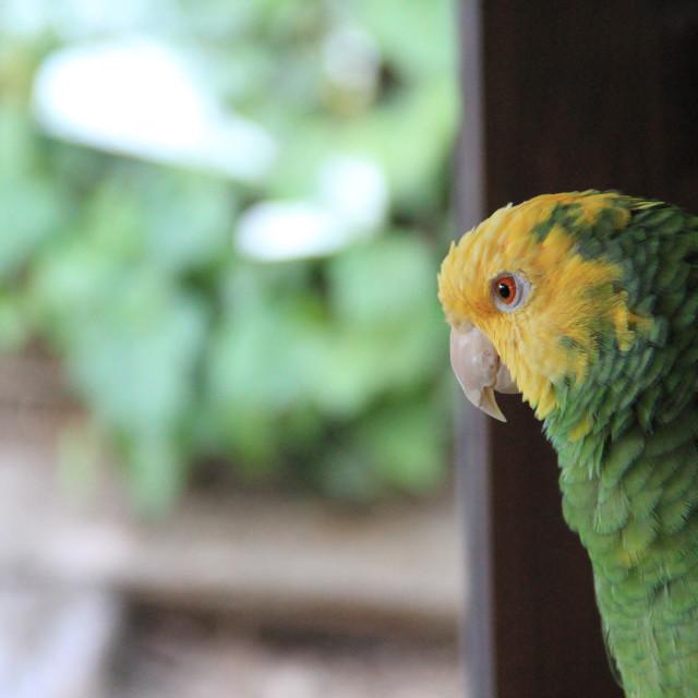 """A Pensive Parrot"" stock image"