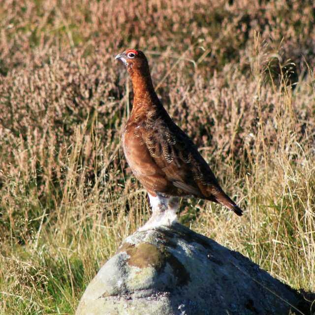 """Red Grouse"" stock image"