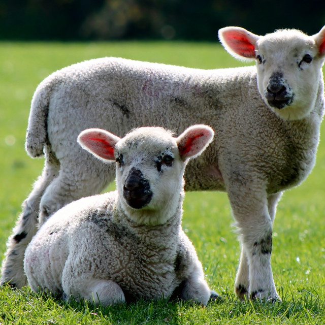 """Lambs in Field"" stock image"