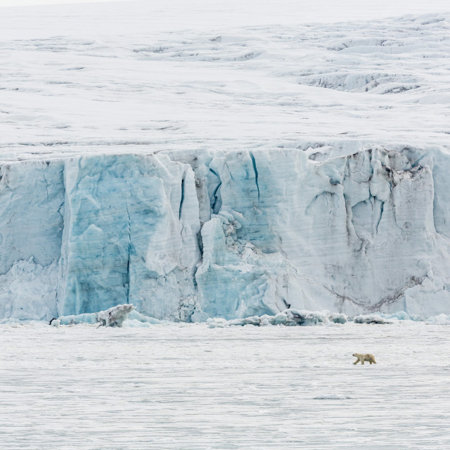 """Adult polar bear (Ursus maritimus) near glacier face in Storfjord, Svalbard,..."" stock image"