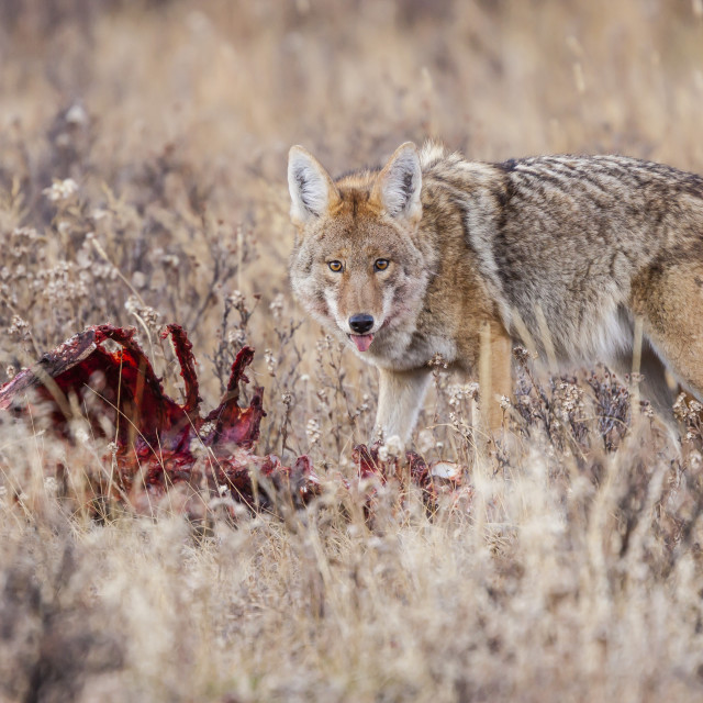 """Coyote (Canis latrans) feeding on an elk carcass in Rocky Mountain National..."" stock image"