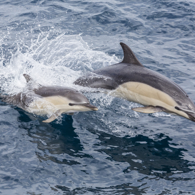 """""""Long-beaked common dolphin (Delphinus capensis) leaping near White Island,..."""" stock image"""