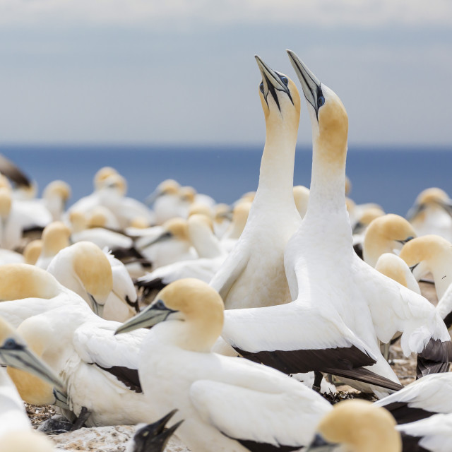 """Australasian gannet (Morus serrator) courtship display at Cape Kidnappers,..."" stock image"