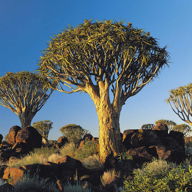 """""""Quiver Trees, Namibia, Africa."""" stock image"""