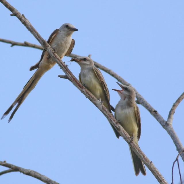 """""""Scissor-tailed Flycatcher Hybrids"""" stock image"""