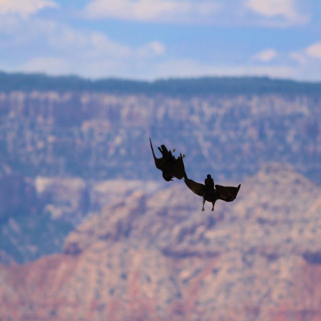 """Ravens at the Grand Canyon"" stock image"