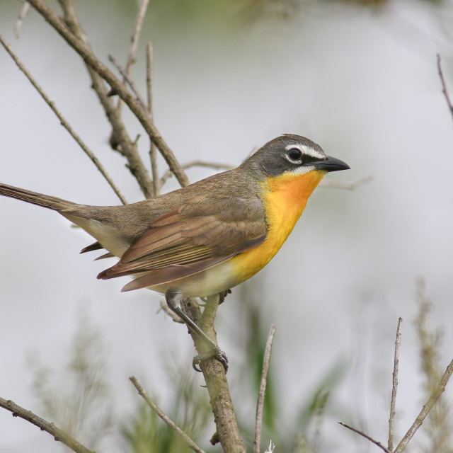 """""""Yellow-breasted Chat"""" stock image"""