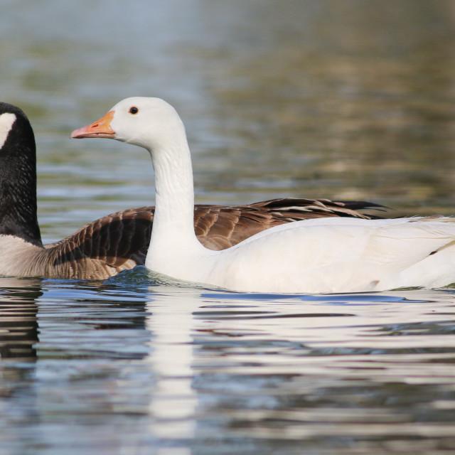 """Albino Goose"" stock image"