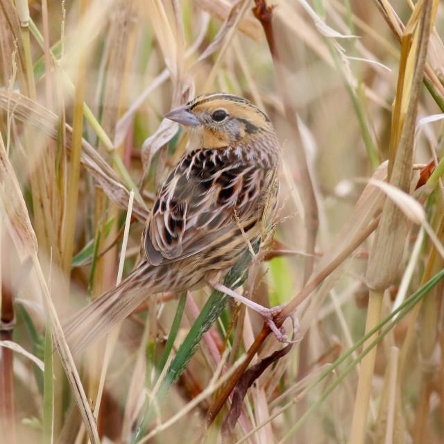 """Le Conte's Sparrow"" stock image"