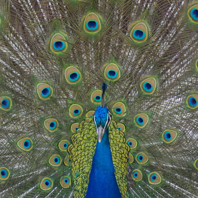 """""""Peacock displaying tail feathers, United Kingdom, Europe"""" stock image"""
