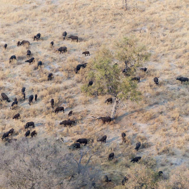 """Buffalo herd (Syncerus caffer), aerial view of Okavango delta, Botswana, Africa"" stock image"