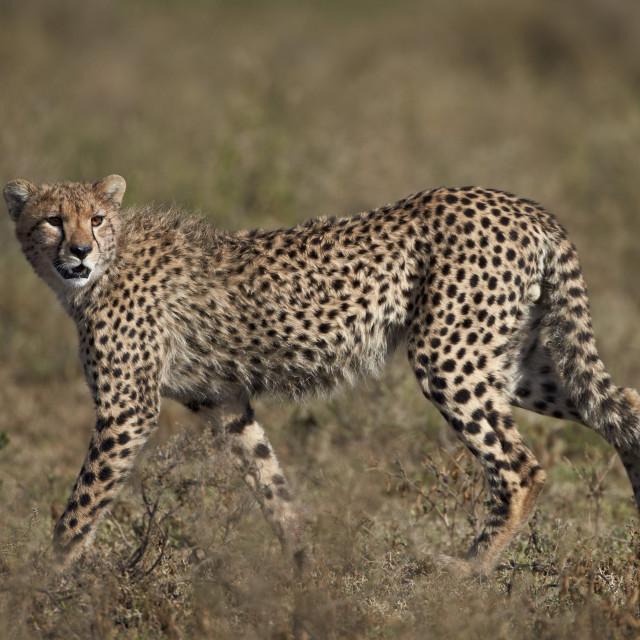 """""""Cheetah (Acinonyx jubatus), Serengeti National Park, Tanzania, East Africa,..."""" stock image"""