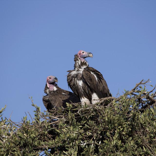 """Nubian vultures (Torgos tracheliotus), Masai Mara National Reserve, Kenya,..."" stock image"
