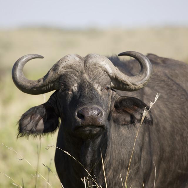 """African buffalo (Syncerus caffer), Masai Mara National Reserve, Kenya, East..."" stock image"