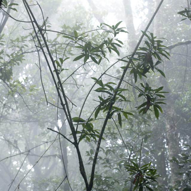 """Shola forest interior in mist, Eravikulam National Park, Kerala, India, Asia"" stock image"