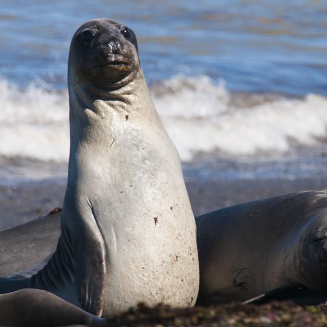 """""""Elephant seals on Punta Ninfas, Chubut, Argentina, South America"""" stock image"""