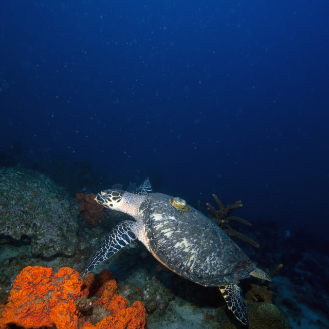 """""""Hawksbill turtle (Eretmochelys) with a tracking device on its back, Dominica,..."""" stock image"""