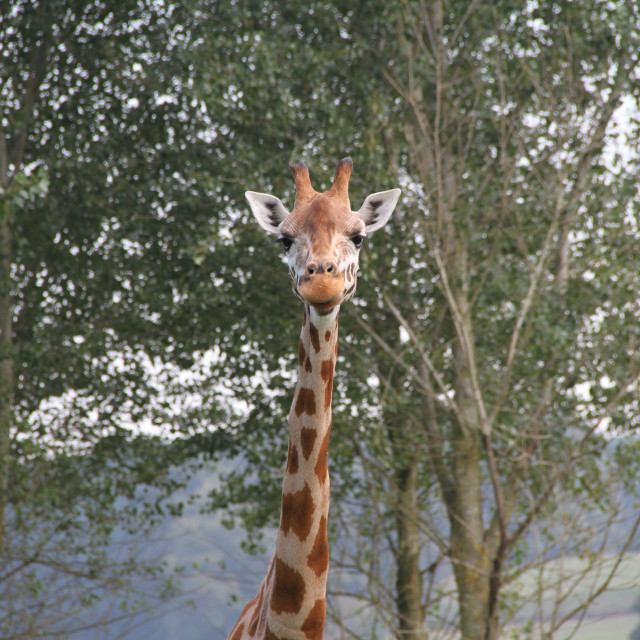 """Happy Giraffe"" stock image"
