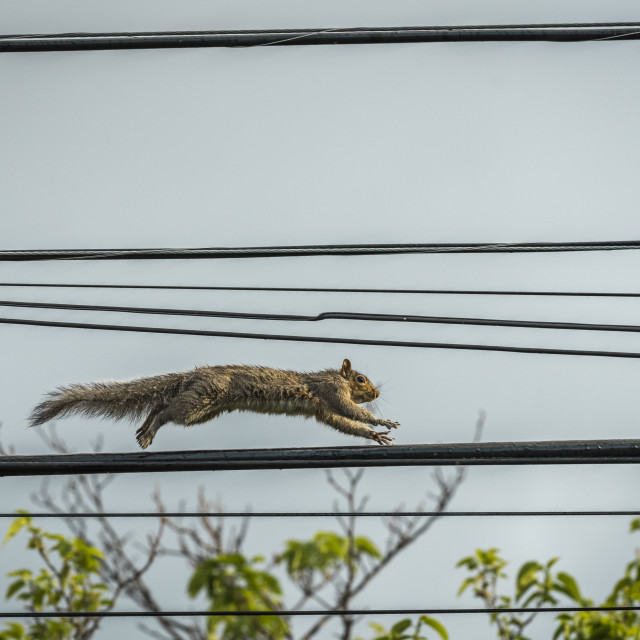"""Squirrel Running on a Telephone Wire"" stock image"