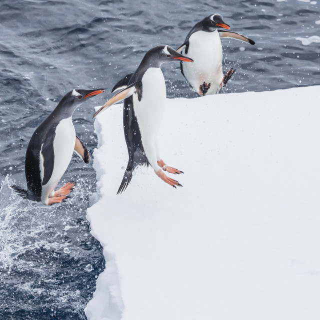 """Adult gentoo penguins (Pygoscelis papua) leaping onto ice in the Enterprise..."" stock image"