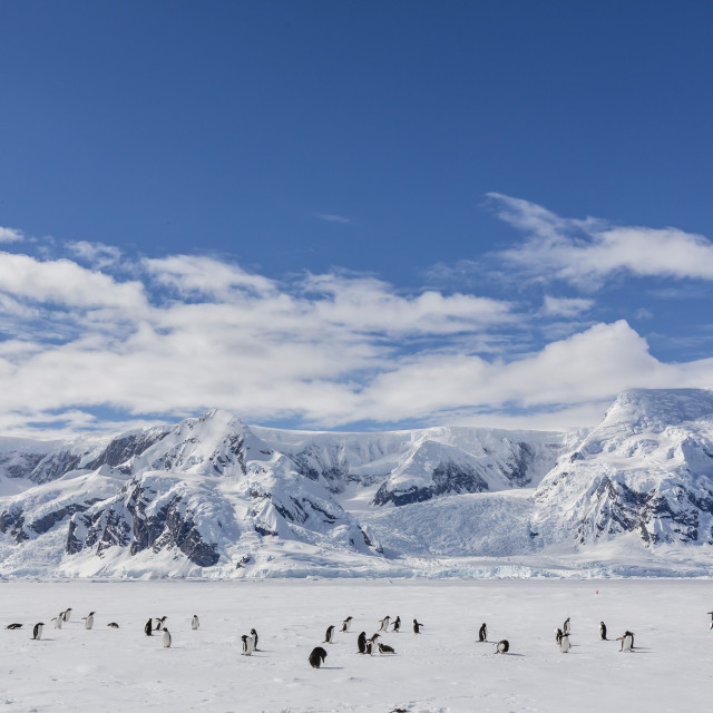 """Adult gentoo penguins (Pygoscelis papua) in the Enterprise Islands,..."" stock image"
