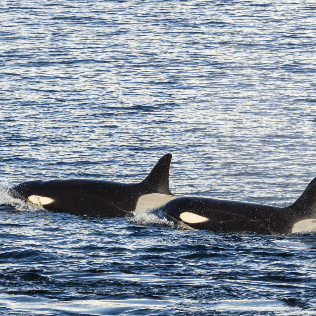 """""""Type A killer whales (Orcinus orca) travelling and socializing in Gerlache..."""" stock image"""