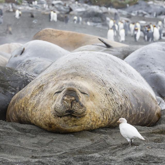 """Southern elephant seals (Mirounga leonina), annual catastrophic molt, Gold..."" stock image"