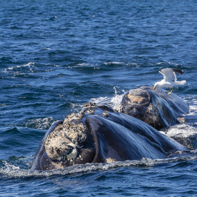 """""""Southern right whale (Eubalaena australis) calf being fed upon by kelp gull..."""" stock image"""