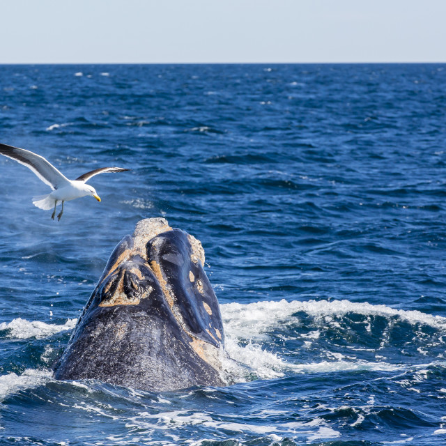 """""""Southern right whale (Eubalaena australis) calf being harassed by kelp gull..."""" stock image"""
