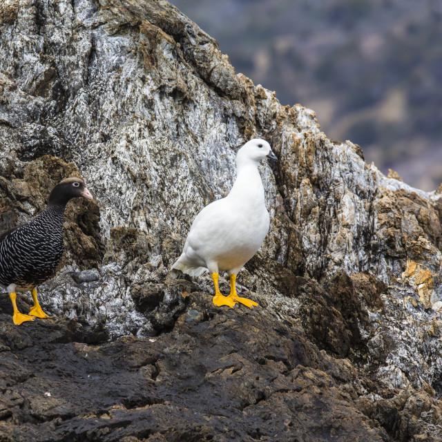 """Breeding pair of kelp geese (Chloephaga hybrida), Wildlife Conservation..."" stock image"